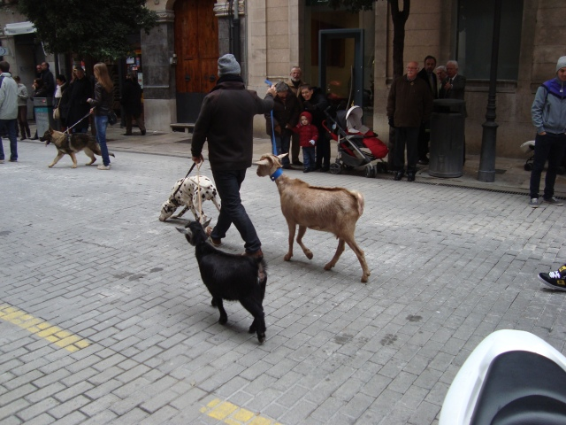The dalmatian seamed wired in Palma, where small dogs rule, and than I realized he was walking two goats.
